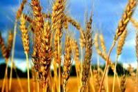 Syria bought wheat and corn from Romania worth EUR 80 million